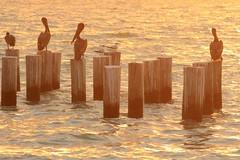 USA - Florida - Naples- Pelicans at sunset (mda'skaly) Tags: pelican sunset sand coucherdesoleil oiseaux birds lumière florida naples usa