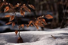 Au milieu d'une clairière (mrieffly) Tags: canoneos50d alsace htrhin hautesvosges foretvosgienne petithêtre feuillesdautomne neige