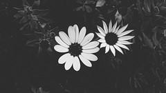 Dos Colores Para Flor de Pasión (Tomás Hornos) Tags: flor flores flowers blackandwhite blancoynegro macro macrofotografía bq móvil primavera doscolores rawtherapee