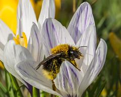 pollen heaven (alderson.yvonne) Tags: bee bumblebb spring crocus yvonne alderson yvonnealderson nikon d7200