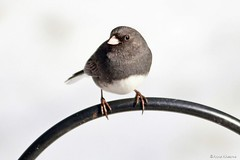 Dark-eyed Junco (Anne Ahearne) Tags: wild bird animal nature wildlife cute junco darkeyedjunco songbird birdwatching
