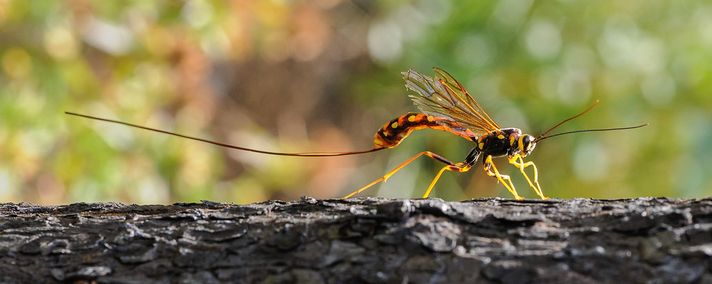 The World's Best Photos of hymenoptera and ichneumonoidea ...