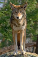 Anglų lietuvių žodynas. Žodis canis rufus reiškia <li>canis rufus</li> lietuviškai.