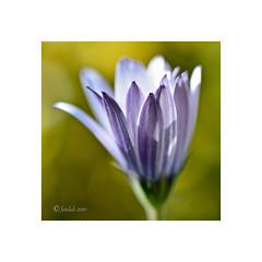 Margarita elia. (EFD-fotolab) Tags: naturaleza efdfotolab nikkor105mm nikond610 nikon macrofotografia macro españa invierno flowers flores osteospermumecklonis margaritaelia margarita