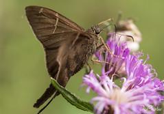 DSC_5564 (DigiPhotus) Tags: digiphotus borboleta insect insetos insectos inseto insekt insecte insetto insekten insekte insekter insectes insecten insektet insetti izimbali papillon buterfly macro macrodreams