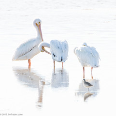 White on White (Jim Frazier) Tags: 201801floridatrip 2019 animals backlit bay bayou beautiful beauty birding birds birdwatching dingdarlingnationalwildliferefuge fauna fl florida fws grooming january jimfraziercom living loafing nationalwildliferefuge natural nature nwr pool preserve q4 reflections ripples roadtrip sanibel sanibelisland scratching sea square tidal usfws vacation water wetland white whitebackground whitepelicans wildlife winter american pelican pelecanus erythrorhynchos f10 fastpictures f20