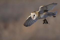 Barn owl (Tyto alba) in flight with vole (rangerbatt) Tags: barnowl tytoalba greatsaltlakewetlands snow winter d7500 owl bird sigma150600mmsports nikon wildutah utahwildlife birdinflight owlinflightwithprey owlwithprey explore