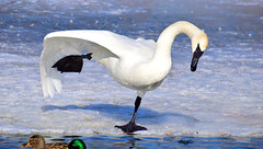 Stretching (mrsparr) Tags: trumpeterswan ice winter humberbayparkeast toronto ontario canada ourdailychallenge 52in2019 odc