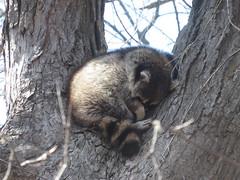 Raccoon 1 (D. S. Hałas) Tags: halas hałas canada ontario haltonregion haltoncounty oakville nipegontrail chordata sarcopterygii mammalia carnivora procyonidae procyonlotor raccoon