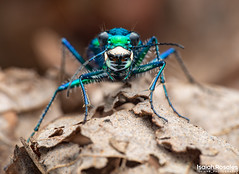Cicindela sexguttata (Six spotted tiger beetle) (Isaiah Rosales) Tags: cicendela cicindelinae cicindelini flashy festive tiger beetle colorful insect bug close macro macrophotography prime lens olympus micro 43 ngc