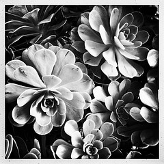 Sempervivum Succulents (Julie (thanks for 9 million views)) Tags: monochrome bw squareformat hipstamaticapp iphonese sempeverium plant commonhouseleek stonecrop blackandwhite 100xthe2019edition 100x2019 image44100 foliage