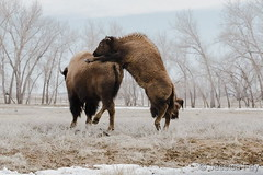 March 19, 2019 - A young bison tries to get its mom's attention. (Jessica Fey)
