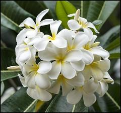 White Frangipani-4= (Sheba_Also 46000 + photos-Videos) Tags: white frangipani