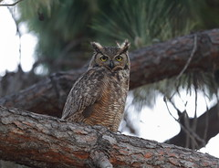 Great horned owl parent (charlescpan) Tags: