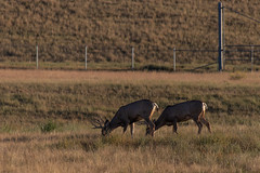 Deer - Rocky Mountain Arsenal - Denver, Colorado (BeerAndLoathing) Tags: 2018 rockymountainarsenal usa denver wildlife 77d colorado deer canon fall september autumn canoneos77d