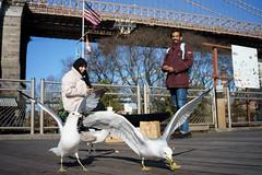 Feeding (dtanist) Tags: nyc newyork newyorkcity new york city sony a7 7artisans 35mm brooklyn bridge park fulton ferry landing seagulls gulls sea bird birds feeding dumbo