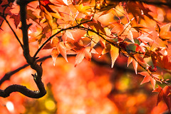 Fiery (johnshlau) Tags: fiery fire bright sunlight light sun tofukujitemple 東福寺 tofukuji autumncolors autumn colors redleaf red leaf leaves kyoto japan garden temple zen buddhist nature macro