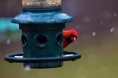 Peek-a-boo (leehobbi) Tags: birds nature backyard cardinal red bird snow birdsnaturebackyard