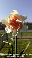 Double Daffodil very close up on balcony railings 28th March 2019 (D@viD_2.011) Tags: double daffodil very close up balcony railings 28th march 2019