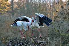 Family Affair #5 (W_von_S) Tags: white storks birds natur nature animals wvons sony
