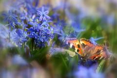 2019-04-09 (PahaKoz) Tags: весна природа сад цветение цветы пролеска бабочка spring nature garden blossom bloom blossoming scilla scillasiberica butterfly
