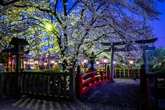 sakura '19 - cherry blossoms #8 (Rokusonnou shrine, Kyoto) (Marser) Tags: xt10 fujifilm raw lightroom japan kyoto shrine flower cherry sakura torii bridge nightview 京都 六孫王神社 桜 夜桜