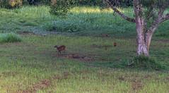 DSC_5397 (Adrian Royle) Tags: malaysia tamannegara travel holiday nature wildlife mammal deer forest outdoors nikon barkingdeer muntjac