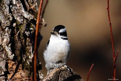 Downy Woodpecker Female (Anne Ahearne) Tags: wild bird animal nature wildlife woodpecker birdwatching downywoodpecker