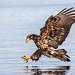 Bald Eagle (sub-adult) Fishing