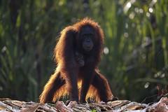 Orangutans (richard.mcmanus.) Tags: indonesia orangutan kalimantan mammal primate wildlife rainforest mcmanus animal ape tanjungputingnationalpark gettyimages borneo borneanorangutan