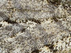 Lycia hirtaria (detail) (kahhihou) Tags: taxonomy:kingdom=animalia animalia taxonomy:phylum=arthropoda arthropoda taxonomy:subphylum=hexapoda hexapoda taxonomy:class=insecta insecta taxonomy:subclass=pterygota pterygota taxonomy:order=lepidoptera lepidoptera taxonomy:superfamily=geometroidea geometroidea taxonomy:family=geometridae geometridae taxonomy:subfamily=ennominae ennominae taxonomy:tribe=bistonini bistonini taxonomy:genus=lycia lycia taxonomy:species=hirtaria taxonomy:binomial=lyciahirtaria skægmåler drsnokřídlectřešňový phalènehérissée schwarzfühlerdickleibspanner brindledbeautymoth brindledbeauty lyciahirtaria dunvlerkspanner
