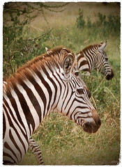 Striped Illusions (The Spirit of the World ( On and Off)) Tags: stripes zebras animals wildlife nature tanzania eastafrica arushanationalpark safari gamedrive greenseason nationalpark grasses trees grass zebraportrait portrait wildlifeportrait