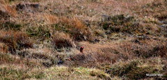 Grouse in the house (mootzie) Tags: bird grouse scottish scotland aberdeenshire wildlife nature red heather
