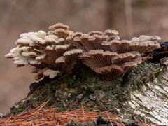Schizophyllum commune (Obas123) Tags: fungus fungi mushroom mushrooms forest macro
