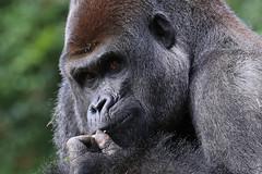 Western Lowland Gorilla (smileybears) Tags: zooatlanta gorilla westernlowlandgorilla primate ape zoosofnorthamerica
