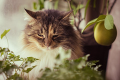 Lemon kitty (bunis321) Tags: a6000 sony alpha cat animal pet home warm latvia latgale pentax takumar asahi smc 55mm f18 f28 vintage lens manual kitty focus cute adorable pretty