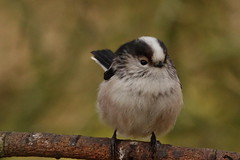 Long Tailed Tit (hedgehoggarden1) Tags: longtailedtit birds rspb wildlife nature sonycybershot creature animal norfolk eastanglia uk sony bird branch cute