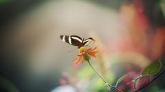 Flowers Summer (Danny JVP) Tags: marco sony blend bokeh butterfly flowers color summer