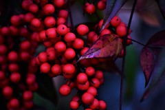 Red Berrie Paradise (filmcrazy1014) Tags: outdoor nikon nature wildlife fruit closeup bokeh brightcolors colorful color colors colorfulleaves branch branches berries blue brown brightpurple red detail abstract plant purple purpleleaves leaves leave macro dream magical macrodreams
