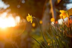 Daffs (Glavind Strachan Photography) Tags: bokeh lensflare spring garden daffodils sunset countryside yellow flare bokehlicious supertakumar takumar vintagelens legacylens