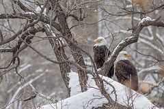 Eagles in Snowy Trees (Sam Wagner Photography) Tags: eagles wildlife animals birds bald tufts feathers snow winter cold trees minneapolis minnesota midwest nature perched close up outdoors bird watching