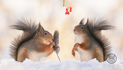 red squirrel holding a feather in the snow (Geert Weggen) Tags: humor mothersday squirrel holidayevent adult animal backlit birthday birthdaypresent bright care celebration closeup cute flower gift greeting greetingcard heartshape horizontal letterdocument looking loveemotion mammal nature partysocialevent photography red rodent smiling sun sweden wallpaperdecor christmastree snow winter present star reach icicle northpole wand magic feather soft snowing bispgården jämtland geert weggen hardeko ragunda