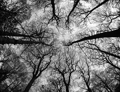 . . . upwards reach (orangecapri) Tags: orangecapri hss fisheye trees pov 8mmf35ifmcfisheye 8mm manuallens sliderssunday bw woods forest