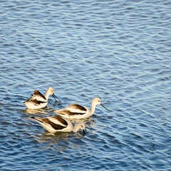 American Avocet (phoca2004) Tags: americanavocet birds birding z6 nikon recurvirostraamericana marincounty sanrafael california unitedstatesofamerica us lochlomondmarina