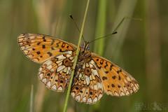 Small Pearl-bordered Fritillary (Ben Locke.) Tags: smallpearlborderedfritillary insect butterfly butterflies wild wildlife nature forestofdean
