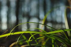 Backlighted gras (iz.andre) Tags: minolta 3570mm 35 vintage lens nature green forest gras backlight tree sony alpha 7 ii 7m2 germany light shadow sun plant outdoor bokeh macro 14 70mm f8