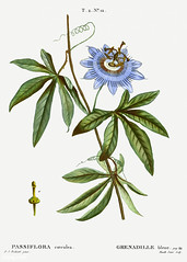 Blooming Blue Passionflower (Free Public Domain Illustrations by rawpixel) Tags: pierre redoute redouté antique art artwork blue bluecrown bluecrownpassionflower botanical branch caerulea cc0 creativecommons0 drawing element engraved engraving environment fineart flora floral flower graphite grenadillebleue historical illustrated illustration ink leaf nature painting passiflora passifloracaerulea passifloracoerulea passionflower pencil pierrejoseph pierrejosephredouté plant publicdomain retro sketch sketching traitédesarbresetarbustes tropical vintage