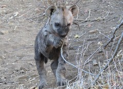 Interesting little twig... (Baby Hyena) (Pixi2011) Tags: wildlife krugernationalpark southafrica africa nature animals coth coth5