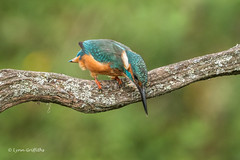 Preparing to dive 501_3347.jpg (Mobile Lynn) Tags: kingfishersrelatives kingfisher birds nature alcedoatthis aves bird chordata coraciiformes fauna wildlife winchester england unitedkingdom gb coth5 ngc npc
