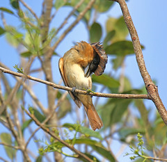 Rose-throated Becard (Digital Plume Hunter) Tags:
